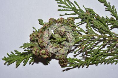 Chamaecyparis lawsoniana. Lawson cypress. Strobilus