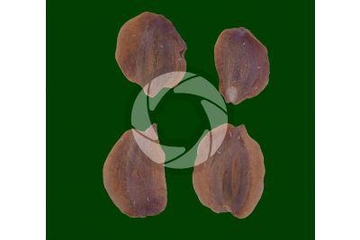 Chamaecyparis lawsoniana. Lawson cypress. Seed