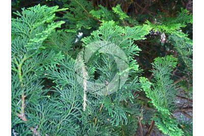Chamaecyparis obtusa. Hinoki cypress. Leaf