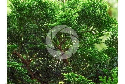 Chamaecyparis obtusa. Hinoki cypress. Strobilus