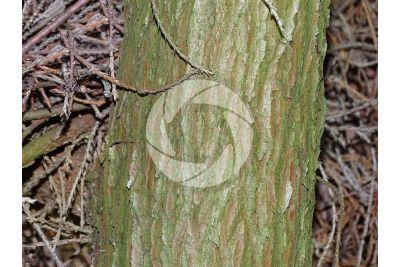 Chamaecyparis pisifera. Cipresso di Sawara. Fusto