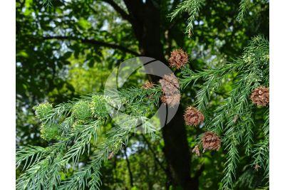 Cryptomeria japonica. Criptomeria. Strobilo