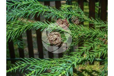 Cryptomeria japonica. Japanese cedar. Strobilus
