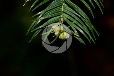 Cunninghamia konishii. Taiwan fir. Male strobilus