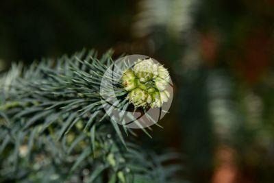 Cunninghamia konishii. Strobilo maschile