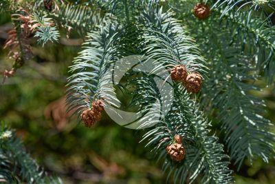 Cunninghamia konishii. Taiwan fir. Strobilus