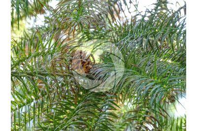 Cunninghamia lanceolata. Cipresso di Cunningham. Strobilo