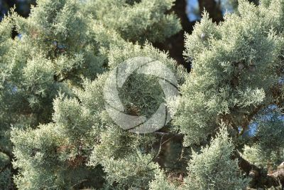 Cupressus arizonica. Arizona cypress. Leaf