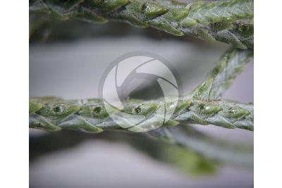 Cupressus arizonica. Cipresso dell'Arizona. Foglia. 7X