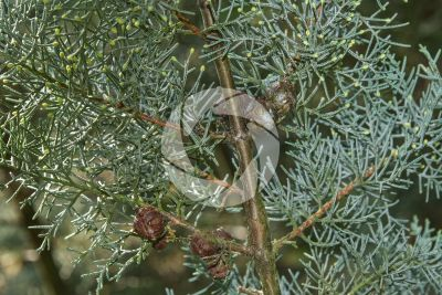 Cupressus arizonica. Cipresso dell'Arizona. Strobilo