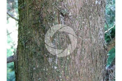Cupressus sempervirens. Mediterranean cypress. Stem