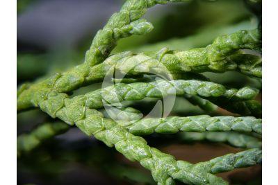 Cupressus sempervirens. Cipresso comune. Foglia. 5X