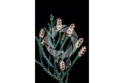Cupressus sempervirens. Mediterranean cypress. Male strobilus