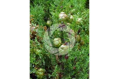 Cupressus sempervirens. Mediterranean cypress. Strobilus