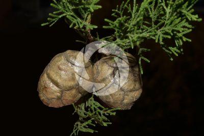 Cupressus sempervirens. Cipresso comune. Strobilo