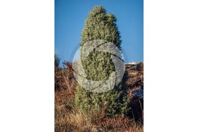 Juniperus communis. Common juniper