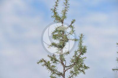 Juniperus communis. Common juniper. Leaf