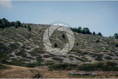 Juniperus communis subsp nana. Ginepro nano