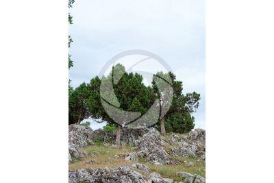 Juniperus foetidissima
