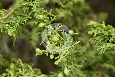 Juniperus foetidissima. Strobilo femminile