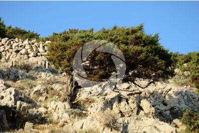 Juniperus oxycedrus. Ginepro rosso