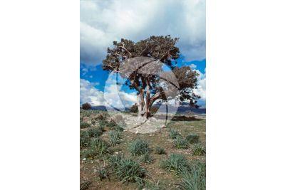 Juniperus oxycedrus. Cade juniper