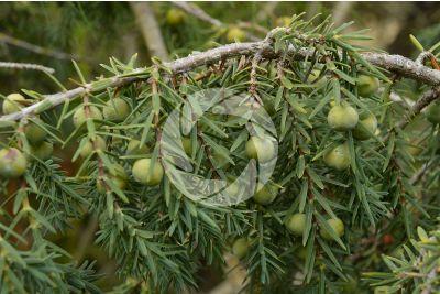Juniperus oxycedrus. Ginepro rosso. Strobilo