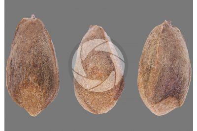 Platycladus orientalis. Oriental arborvitae. Seed. 5X
