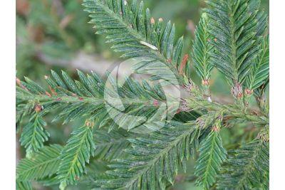 Sequoia sempervirens. Sequoia sempreverde. Foglia. Pagina superiore