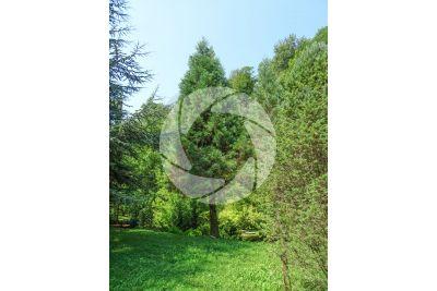Sequoiadendron giganteum. Sequoia gigante