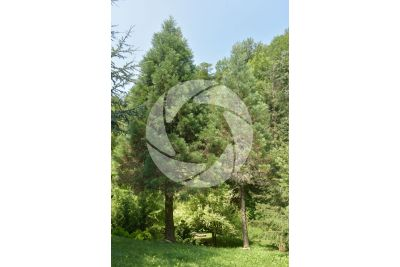 Sequoiadendron giganteum. Giant sequoia