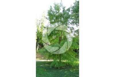 Taxodium distichum. Cipresso calvo delle paludi