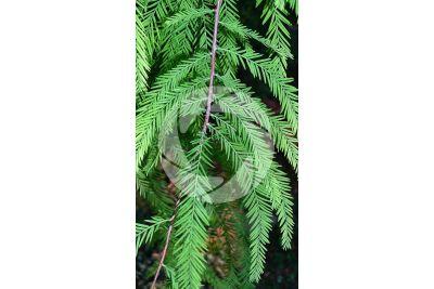 Taxodium distichum. Bald cypress. Leaf. Upper surface