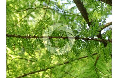 Taxodium distichum. Cipresso calvo delle paludi. Foglia. Pagina inferiore