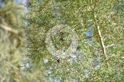 Tetraclinis articulata. Ginepro articolato. Strobilo