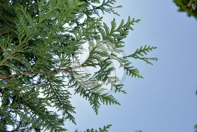 Thuja occidentalis. Northern white-cedar. Leaf. Lower surface