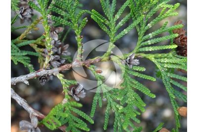 Thuja occidentalis. Tuia occidentale. Strobilo