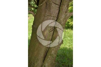 Thuja plicata. Giant cedar. Stem