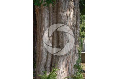 Taxus baccata. European yew. Stem