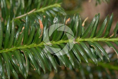 Taxus baccata. Tasso. Foglia