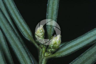 Taxus baccata. European yew. Female strobilus