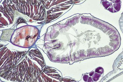 Branchiostoma sp. Lancet. Pharynx. Transverse section. 64X