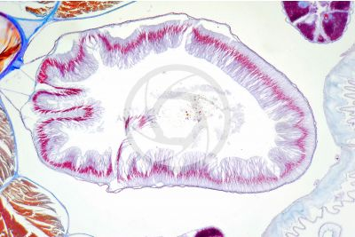 Branchiostoma sp. Lancet. Intestine. Transverse section. 100X