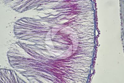 Branchiostoma sp. Lancet. Intestine. Transverse section. 1000X
