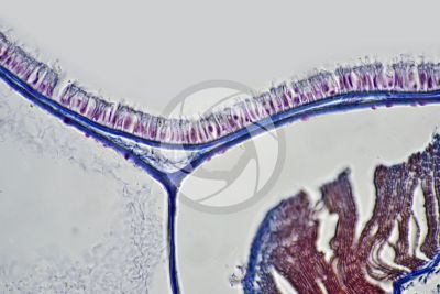 Branchiostoma sp. Lancet. Skin and epidermis. Transverse section. 500X