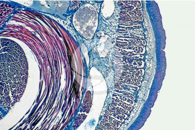 Petromyzon sp. Lamprey. Skin and epidermis. Transverse section. 32X