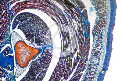 Petromyzon sp. Lamprey. Epidermis and skeleton. Transverse section. 32X