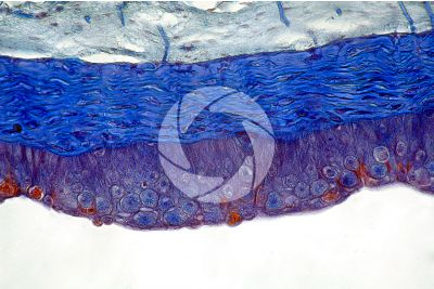 Petromyzon sp. Lamprey. Skin and epidermis. Transverse section. 250X