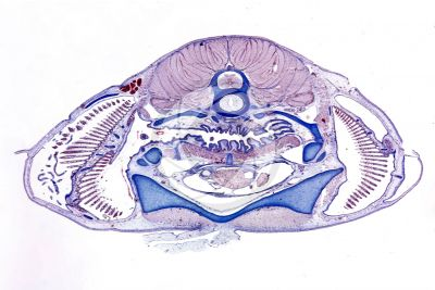 Scyliorhinus sp. Scyllium sp. Dogfish. Transverse section. 1X