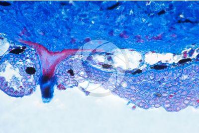 Scyliorhinus sp. Scyllium sp. Dogfish. Skin and epidermis. Vertical section. 100X